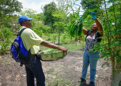 The Growing Dutchman - Haiti Moringa - AFASDAH Women Coop