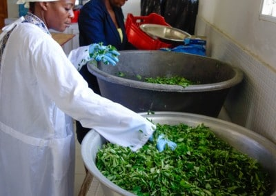 The Growing Dutchman - Haiti Moringa - AFASDAH Women Coop-5