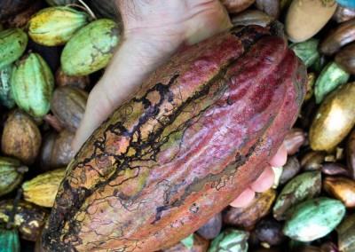 Harvesting Cacao @Barranca