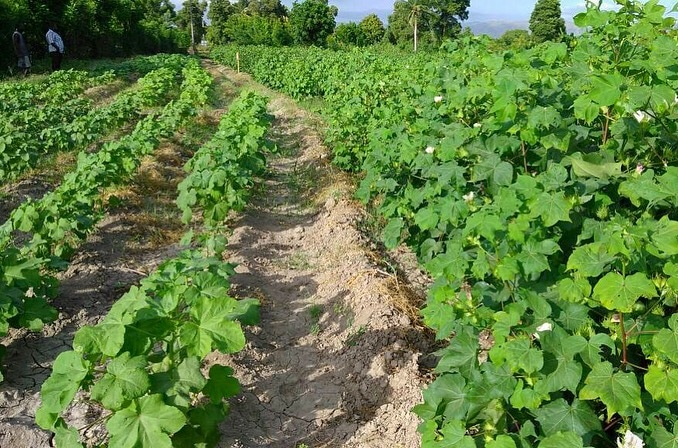 First Cotton Flowering in Haiti, Haiti Sustainable cotton, timberland, sfa, smallholder farming, the growing dutchman, chris kaput -1