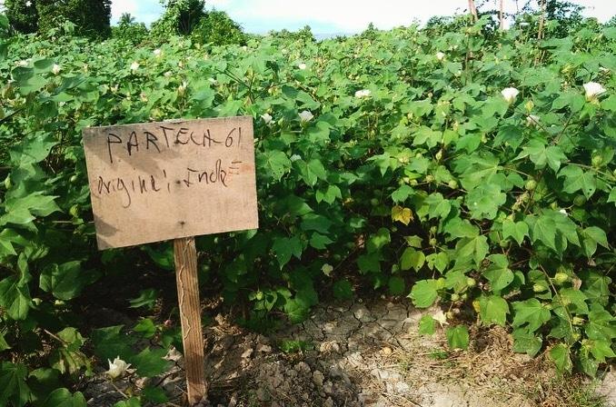First Cotton Flowering in Haiti, Haiti Sustainable cotton, timberland, sfa, smallholder farming, the growing dutchman, chris kaput -3