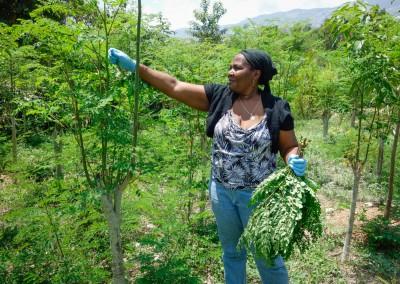 The Growing Dutchman - Haiti Moringa - AFASDAH Women Coop-3