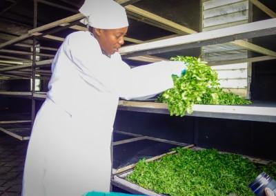 The Growing Dutchman - Haiti Moringa - AFASDAH Women Coop-6