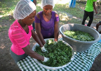 Moringa Leaf powder processing smalholder farmers women cooperative afasdah the growing dutchman sustainable agriculture reforestation Haiti