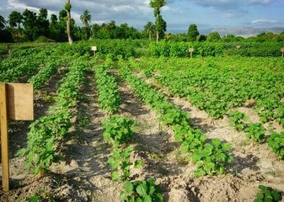 First Cotton Flowering in Haiti, Haiti Sustainable cotton, timberland, sfa, smallholder farming, the growing dutchman, chris kaput -2